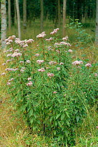 Hemp Agrimony {Eupatorium cannabinum} Wiltshire, UK  -  David Kjaer