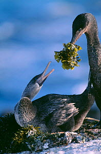 Male Galapagos Flightless cormorant offering seaweed to female {Nannopterum harrisi}  -  Pete Oxford