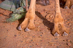 Close-up of feet of Bactrian camel {Camelus bactrianus} Egypt Africa  -  Dan Burton