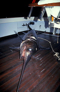 Swordfish on deck of fishing boat {Xaphias gladias} Venezuela  -  Sue Flood