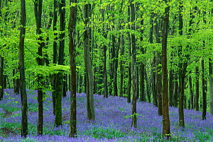 Bluebells {ymion nonscriptus} in Beech plantation {Fagus sylvatica} Dorset UK  -  Colin Varndell