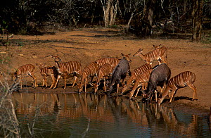 Nyala herd drinking at waterhole {Tragelaphus angasi} Phinda RR South Africa  -  Richard Du Toit