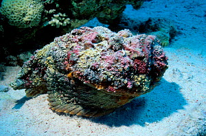 Stonefish buried on sea floor {Synanceja verrucosa} Red Sea Eygpt  -  Georgette Douwma