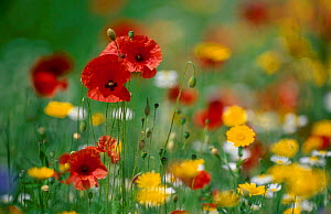 Wild flowers in reseeded meadow Common poppy Corn marigold Corn chamomile. UK - Chris Gomersall
