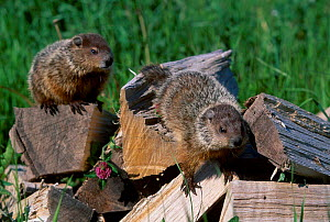 Woodchucks on wood {Marmota monax} captive Minnesota USA  -  Lynn M Stone