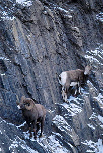 Bighorn sheep {Ovis canadensis} Female seeking refuge from male Jasper NP Alberta Canada - Lynn M Stone