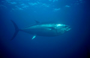 Bluefin tuna {Thunnus thynnus} Kushimoto Tuna Farm Japan. Bluefin tuna can swim at speeds of 50mph - they would win a silver swimming medal in an animal olympics competition. - Martha Holmes