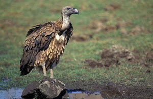 Indian white backed vulture juvenile {Gyps bengalensis} Ranthambore NP, India - Bernard Castelein
