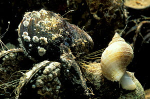 Common mussel {Mytilus edulis} holding down Dogwhelk {Nucella lapillus} with byssal in order to feeds on it. Dogwhelk may then drill into mussel shell and inject poisonous solution to feed on mussel.  -  Neil Bromhall