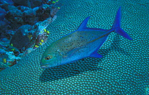 Bluefin trevally {Caranx melampygus} Midway Is, Pacific  -  Michael Pitts