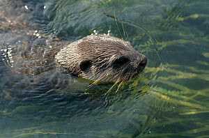 Indian smooth clawed otter in water {Lutra perspicillata}, Bangladesh - John Downer