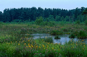 Boggy heathland with Bog asphodel and Cotton grass Thursley common Sussex UK - Jason Smalley