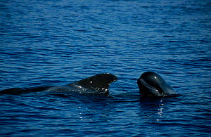 Mother young Short finned pilot whale {Globicephala macrorhynchus} Tenerife Canary  -  Nick Barwick