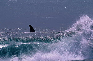Killer whale in surf {Orcinus orca} Ile de la Possession Crozet Island  -  Pete Oxford