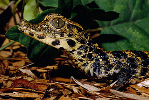 Young West African Dwarf crocodile {Osteolaemus tetraspis} occurs W/C Africa, VU - Rod Williams