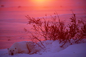Polar bear resting at sunset {Ursus maritimus} Arctic - Staffan Widstrand