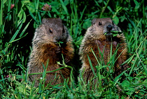 Two Woodchuck feeding {Marmota monax} Minnesota USA  -  Lynn M Stone