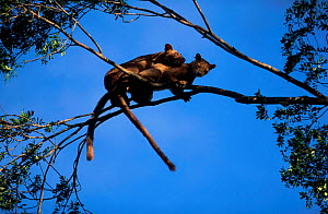 Fossas mating in tree {Cryptoprocta ferox} Western Dry Forest Madagascar  -  Pete Oxford