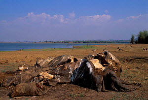Indian elephant carcass {Elephas maximus} Kabini South India - Lockwood & Dattatri
