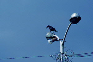 Carrion crow waits for traffic to stop at red lights before placing walnut on road. Japan  -  Miles Barton