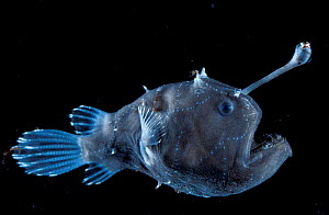 Deep sea Anglerfish female with lure {Himantolophus sp} Atlantic ocean  -  David Shale
