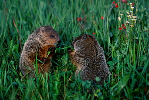 Woodchuck family in grass {Marmota monax} Minnesota USA  -  Lynn M Stone