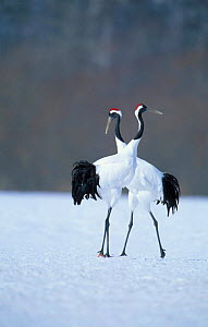 Japanese crane courtship display {Grus japonensis} Hokkaido Japan Feb/March - David Pike