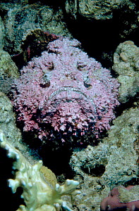 Stonefish {Synanceja verrucosa} Red Sea Egypt Middle East - PETER SCOONES