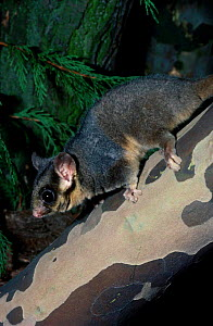 Male Leadbeaters possum {Gymnobelideus leadbeateri}  occurs Australia Victoria State  -  Rod Williams