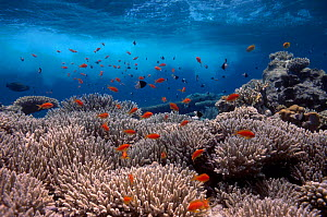 Coral reef scenery shallow reef with wave and {Anthias} fish Red Sea Egypt BLUE_PLANET  -  Georgette Douwma