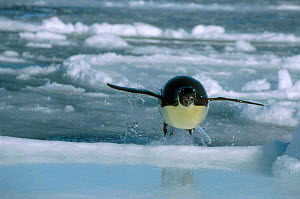 Emperor penguin leaps out of sea onto ice {Aptenodytes forsteri} Antarctica 2004  -  Doug Allan