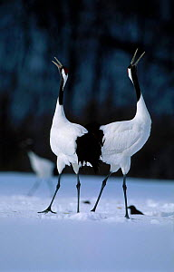 Japanese crane displaying {Grus japonensis} Akan Japan - David Pike