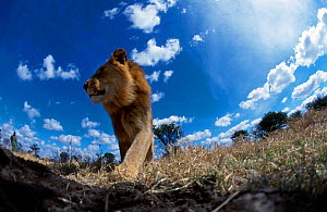 Male Lion walking {Panthera leo} Masai Mara Kenya. Image taken with Bouldercam remote - John Downer