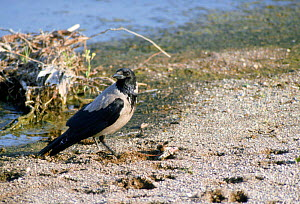 Hooded crow {Corvus corone cornix} Scotland, UK  -  Colin Preston