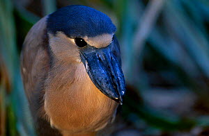 Boat billed heron {Cochlearius cochlearius} Central america  -  Pete Oxford