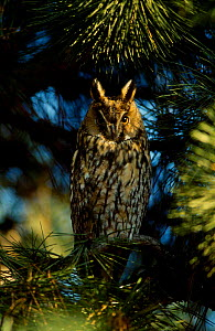 Long eared owl in tree {Asio otus} Hessen Germany  -  Ingo Arndt