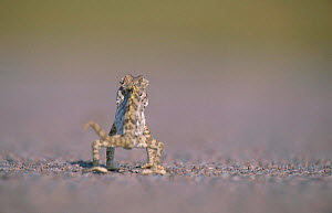 Desert chameleon walking away from camera {Chamaeleo namaquensis} Namibia - Ingo Arndt