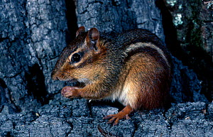 Eastern american chipmunk {Tamias striatus} W Florida, USA  -  Barry Mansell