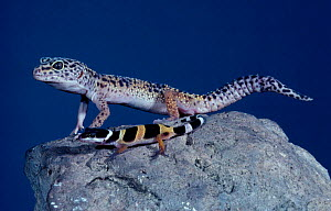 Leopard gecko and young {Eublepharis macularis} captive, Africa - Barry Mansell