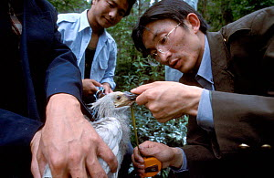 Researchers measure Crested ibis {Nipponia nippon} endangered, Shaanxi prov, China - Xi Zhinong