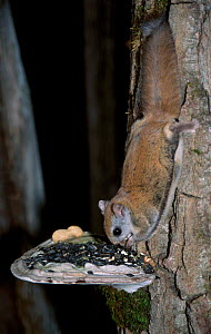 Northern flying squirrel feeds on seeds placed on fungi. {Glaucomys sabrinus} Maine USA  -  Mark Payne-Gill