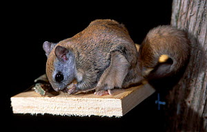 Northern flying squirrel feeds on feeder {Glaucomys sabrinus} Maine USA  -  Mark Payne-Gill