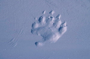 Polar bear footprint in snow {Ursus maritimus} Churchill Canada - Sue Flood