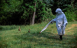 Researcher in crane costume with Whooping crane chicks Operation Migration MD USA - imprinting chicks so they will follow microlite south for winter - Mark Payne-Gill