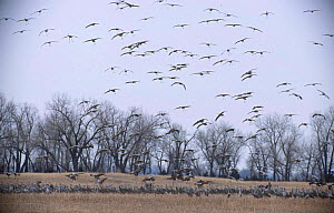 Sandhill cranes landing in field Platte river Nebraska USA {Grus canadensis} . march - Mark Payne-Gill