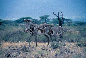 Grevy zebra and foal {Equus grevyi} Buffalo Springs, Kenya, East Africa - Nigel Tucker