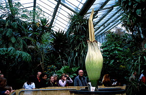 Titan arum flower {Amorphophallus titanum} Kew Gardens London UK This species has the largest unbranched flower inflorescence which smells strongly of rotting carrion.  -  Adrian Davies