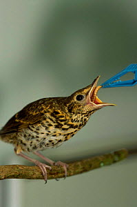 Song thrush fledgling being fed mealworm {Turdus philomelos} Somerset UK - Colin Seddon