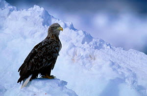 White tailed eagle {Haliaeetus albicilla} Nemuro straits Japan  -  David Pike