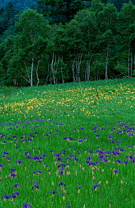 Irises and Lilies flowering on edge of Oze marsh Japan - David Pike
